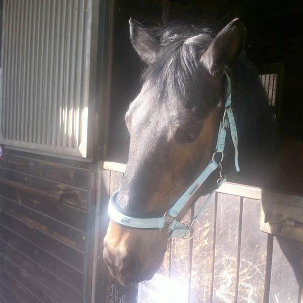 Pferd Servus mit neuen Halfter